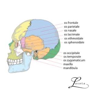 Manuel terapi af kranium og ansigt